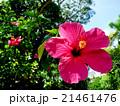 ハイビスカスの花(バリ島) 21461476