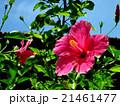 ハイビスカスの花(バリ島) 21461477