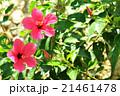 ハイビスカスの花(バリ島) 21461478