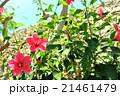 ハイビスカスの花(バリ島) 21461479