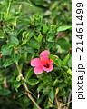 バリ島 ハイビスカスの花 21461499