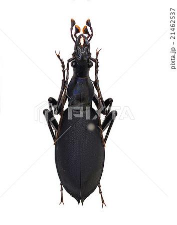 宮城県産マイマイカブリ♂東北南部亜種(コアオマイマイカブリ) 21462537