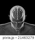 脳のモデル, 頭部のスケルトンモデル 21463279