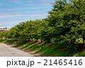 桜並木 新緑 21465416