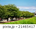 桜並木 新緑 21465417