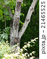 漆の木 21465525