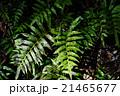 しだ 植物 21465677