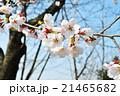 桜 アップ 21465682