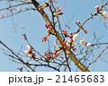 桜 つぼみ 咲き始め 21465683