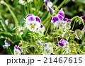 お花 フラワー 咲く花の写真 21467615