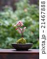 苔 盆栽 趣味の写真 21467888