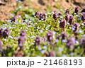 春 花 オオイヌノフグリの写真 21468193