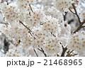 桜が満開 21468965