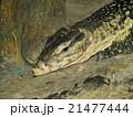 とかげ トカゲ 動物園の写真 21477444