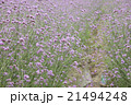 フラワー 花 バーベナの写真 21494248