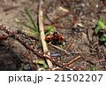 クロボシツツハムシ 昆虫 甲虫の写真 21502207