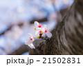 桜 21502831