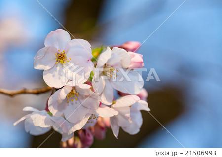 桜 21506993