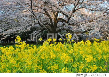 桜と菜の花 21513021