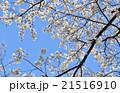 桜 21516910