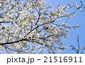 桜 21516911