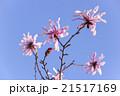 幣辛夷 四手拳 ヒメコブシの写真 21517169
