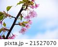 桜 21527070