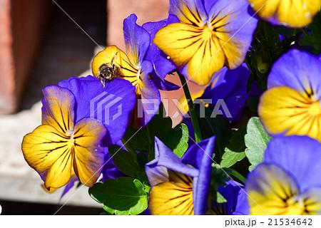 パンジーの花の蜜を吸うミツバチ クローズアップ 21534642