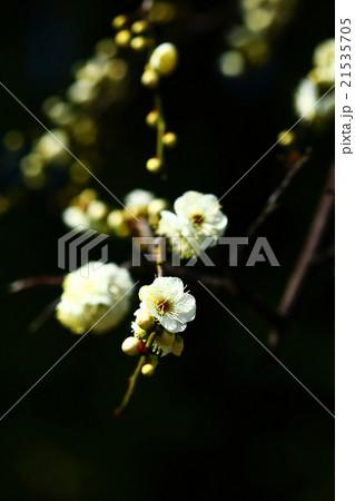 枝垂れ梅 緑萼枝垂れの花 21535705