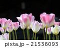 チューリップ 花 植物の写真 21536093