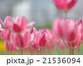 チューリップ 花 植物の写真 21536094