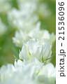チューリップ 花 植物の写真 21536096