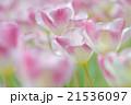チューリップ 花 植物の写真 21536097
