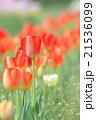チューリップ 花 植物の写真 21536099