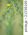チューリップ 花 植物の写真 21536100