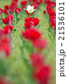 チューリップ 花 植物の写真 21536101