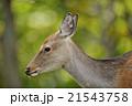 森の中のエゾシカ 21543758