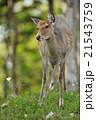森の中のエゾシカ 21543759