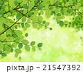 新緑(若葉) 21547392