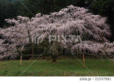 阿東町 領家 一本桜 21547981