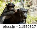 チンパンジーの親子 21550327