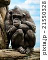 考えるチンパンジー 21550328
