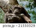 考えるチンパンジー 21550329
