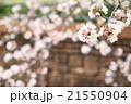 桜 21550904