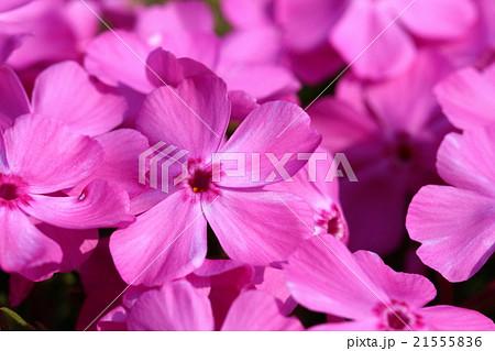 ピンクのシバザクラの花のアップ 21555836