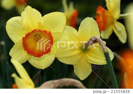 黄色とオレンジ色のスイセンの花 21555839