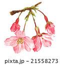 花 春 桜のイラスト 21558273