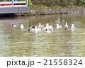 Ducks at Kamakura 21558324
