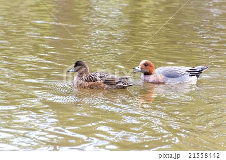 duck at Kamakura 21558442