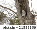 エゾフクロウ 21559369